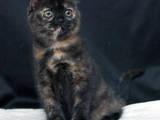Кішки, кошенята Британська короткошерста, ціна 12000 Грн., Фото