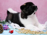 Собаки, щенки Американский акита, цена 9000 Грн., Фото