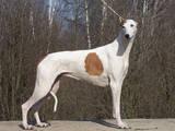 Собаки, щенки Грейхаунд, цена 900 Грн., Фото