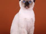 Кішки, кошенята Тайська, ціна 5000 Грн., Фото