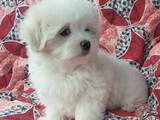 Собаки, щенки Мальтийская болонка, цена 15000 Грн., Фото