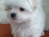 Собаки, щенята Мальтійська болонка, ціна 15000 Грн., Фото