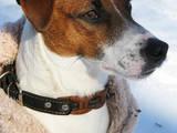 Собаки, щенята Джек Рассел тер'єр, ціна 5000 Грн., Фото