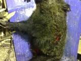 Собаки, щенята Німецька жорсткошерста лягава, ціна 4000 Грн., Фото