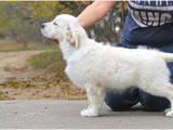 Собаки, щенята Золотистий ретрівер, ціна 450 Грн., Фото