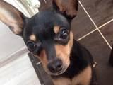 Собаки, щенки Русский гладкошерстный тойтерьер, цена 100 Грн., Фото