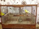 Папуги й птахи Канарки, ціна 320 Грн., Фото