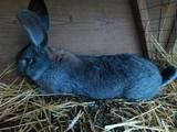 Грызуны Кролики, цена 700 Грн., Фото