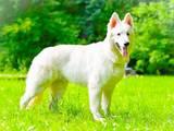 Собаки, щенята Біла Швейцарська вівчарка, ціна 15000 Грн., Фото