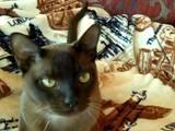 Кішки, кошенята Бурма, ціна 10000 Грн., Фото