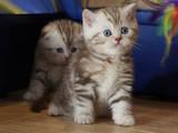 Кошки, котята Британская короткошерстная, цена 4000 Грн., Фото