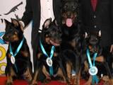 Собаки, щенята Босерон, ціна 5000 Грн., Фото