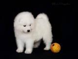 Собаки, щенята Самоїдом, ціна 4000 Грн., Фото