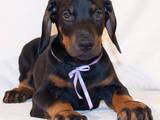 Собаки, щенята Доберман, ціна 7500 Грн., Фото