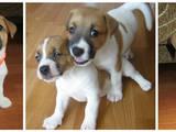 Собаки, щенята Джек Рассел тер'єр, ціна 7500 Грн., Фото