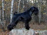 Собаки, щенята Цвергшнауцер, ціна 5000 Грн., Фото