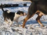 Собаки, щенки Бультерьер, цена 14000 Грн., Фото