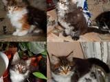 Кішки, кошенята Мейн-кун, ціна 4000 Грн., Фото