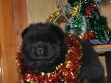 Собаки, щенята Чау-чау, ціна 10000 Грн., Фото
