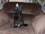 Кошки, котята Ориентальная, Фото