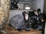 Гризуни Кролики, ціна 60 Грн., Фото