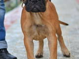 Собаки, щенки Бульмастиф, цена 20000 Грн., Фото