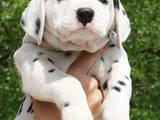 Собаки, щенки Далматин, цена 6000 Грн., Фото