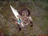 Собаки, щенки Немецкая жесткошерстная легавая, цена 4800 Грн., Фото