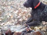 Собаки, щенята Німецька жорсткошерста лягава, ціна 4800 Грн., Фото