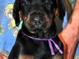 Собаки, щенята Доберман, ціна 7000 Грн., Фото