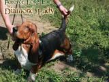 Собаки, щенки Бассет, цена 23000 Грн., Фото