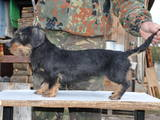 Собаки, щенки Жесткошерстная такса, цена 2000 Грн., Фото