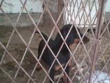 Собаки, щенки Разное, цена 6000 Грн., Фото