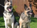 Собаки, щенки Восточно-Европейская овчарка, цена 7000 Грн., Фото