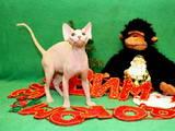 Кошки, котята Канадский сфинкс, цена 2700 Грн., Фото
