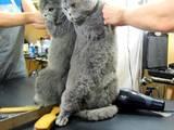Кішки, кошенята Британська довгошерста, ціна 120 Грн., Фото