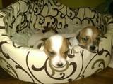 Собаки, щенята Джек Рассел тер'єр, ціна 4000 Грн., Фото
