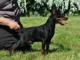 Собаки, щенята Карликовий пінчер, ціна 7000 Грн., Фото
