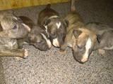 Собаки, щенята Мініатюрний бультер'єр, ціна 20000 Грн., Фото