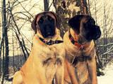 Собаки, щенки Английский мастиф, цена 16500 Грн., Фото