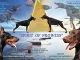 Собаки, щенята Доберман, ціна 13500 Грн., Фото