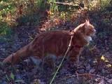 Кошки, котята Мэйн-кун, цена 2500 Грн., Фото