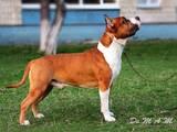 Собаки, щенки Американский стаффордширский терьер, цена 6500 Грн., Фото