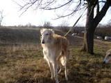Собаки, щенята Російський хорт, ціна 8000 Грн., Фото
