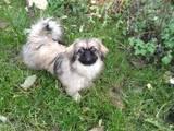 Собаки, щенята Пекінес, ціна 500 Грн., Фото