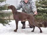 Собаки, щенята Німецька гладкошерста лягава, ціна 12000 Грн., Фото