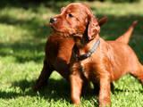 Собаки, щенята Ірландський сетер, ціна 2600 Грн., Фото