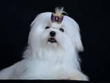 Собаки, щенки Мальтийская болонка, цена 20000 Грн., Фото