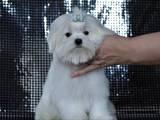 Собаки, щенята Мальтійська болонка, ціна 28000 Грн., Фото