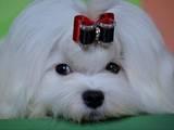 Собаки, щенята Мальтійська болонка, ціна 16000 Грн., Фото
